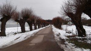 Kopfweiden im Winter