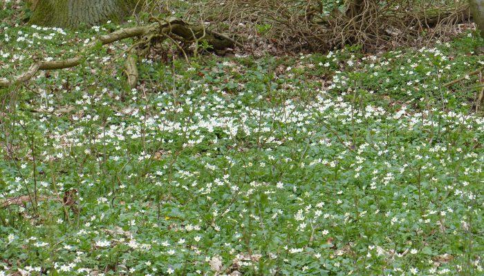 Buschwindröschen im Buchenhochwald